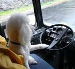 dog at the wheel of a bus